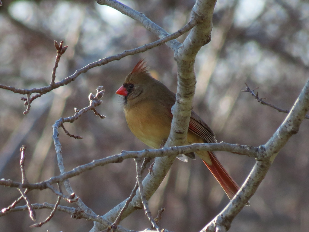Cardinal in one of the Aspen trees.