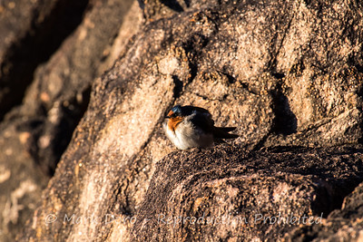 Puffball.  Morning Swallow trying to get warm in the dawn light, Boat Harbour, NSW