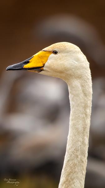 Portrait Whooper swan