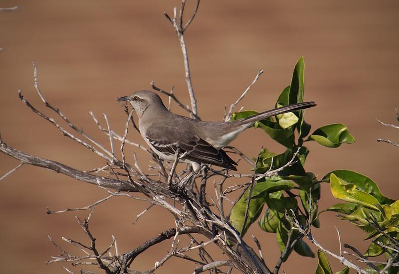 Northern Mockingbird - 25 Jan 2011
