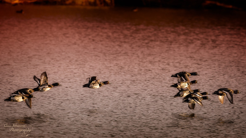 Tufted ducks