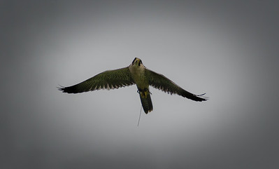 Bird Of Pray