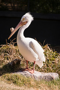 American white pelican enjoying the sunshine.