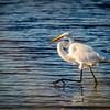 Great Egret Walk