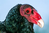 Turkey Vulture head in profile
