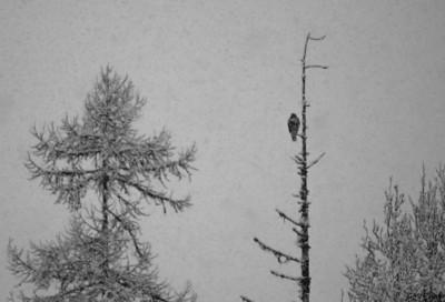 Falcon in the Snow