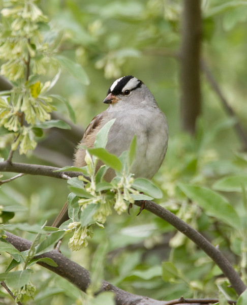 White-crowned Sparrow - May 2008