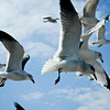 Laughing Gulls (Larus atricilla)<br /> James River, Virginia, USA<br /> IUCN Status: Least Concern