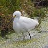 Snowy Egret at Bolsa Chica Reserve - 19 Mar 2011