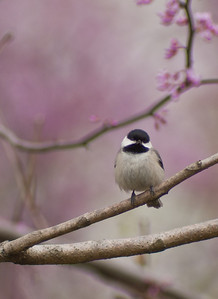 Carolina or Black Capped Chickadee. They hybridize here where their range overlaps, so it may be a little of both here. I can't tell the difference, but maybe better birders can.