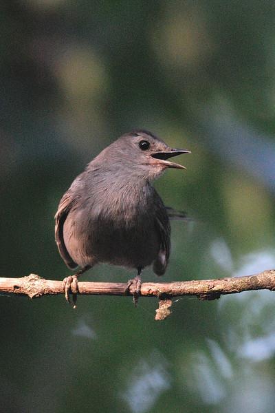Gray catbird<br /> Cabin John, Montgomery County, Maryland