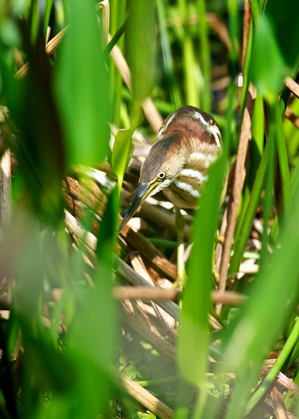 Least Bittern, Green Cay Wetlands, Florida