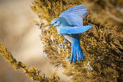 Bluebird 3690