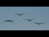 Brown Pelicans flying in formation - sort of.