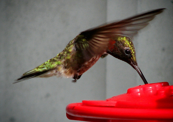 A male ruby-throated hummingbird (Archilochus colubris) hovering as he feeds from a feeder (20120710_01501)