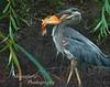 Great Blue Heron, Ardea herodias after catching Carp, Carassius auratus