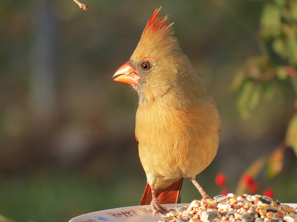 Cardinal in the last rays of the setting sun on November 25, 2012.