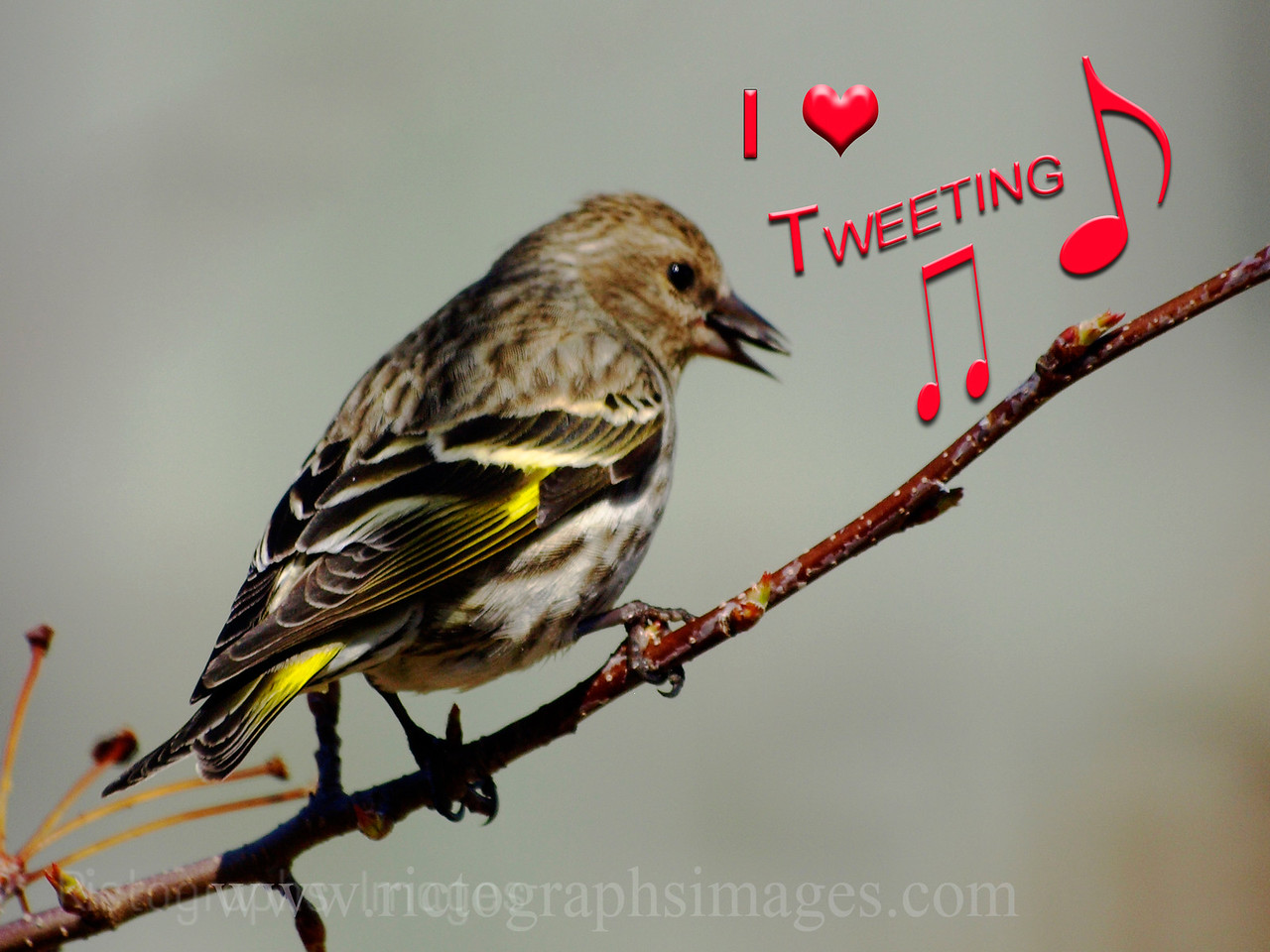 Tweety Bird Tweeting, Rictographs Images, I Heart Tweeting