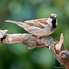 House Sparrow (Invasive Species)