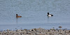 Greater Scaups in the San Francisco Bay near Oyster Point Marina