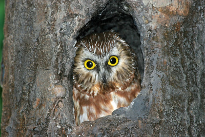"""""""Aren't I cute?""""  Northern Saw-whet Owl.  Photo taken at Tamarac National Wildlife Refuge!  Have a blessed day!"""
