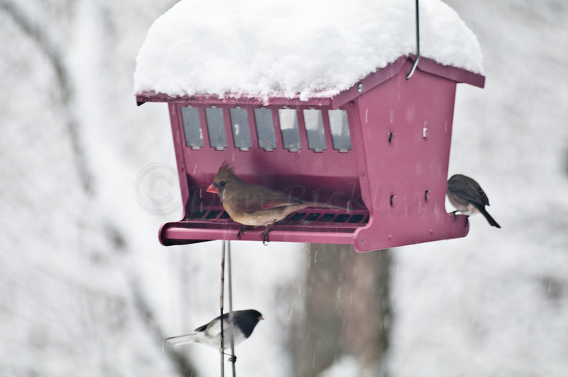 Female Cardinal & Juncos at the feeder. Backyard shot