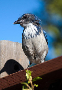Scrub Jay in my back yard.