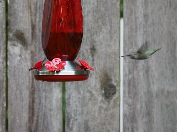 Resident Anna's Hummingbird
