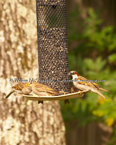 English House Sparrow - male on the right.