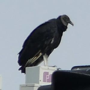 P149CoragypsAtratus884 Aug. 20, 2015  10:13 a.m.  P1490884 Here is a Black Vulture, Corgyps atratus, on a high perch at LBJ WC.