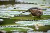 Striated Heron in Cairns Botanical Gardens