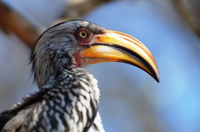 African Hornbill - Afsaal, Kruger National Park.  ……………….[ Copyright © 2011 - Photo by Barry Jucha ]