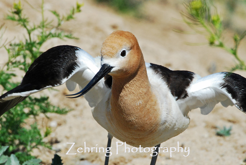 The avocet is truely one of more beautiful of the shore birds found regularly in the northern Nevada waterways.