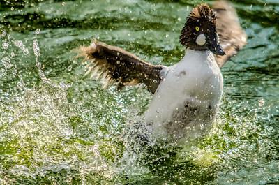 American Goldeneye Duck