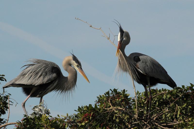 Great Blue Heron courting at the Venice Rookery - Jan 20, 2010