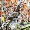 """Ruffed Grouse"""