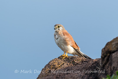 Nankeen Kestrel, Birubi Beach, Port Stephens, NSW