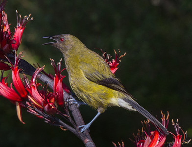 Korimako - the Bellbird (Anthornis melanura)