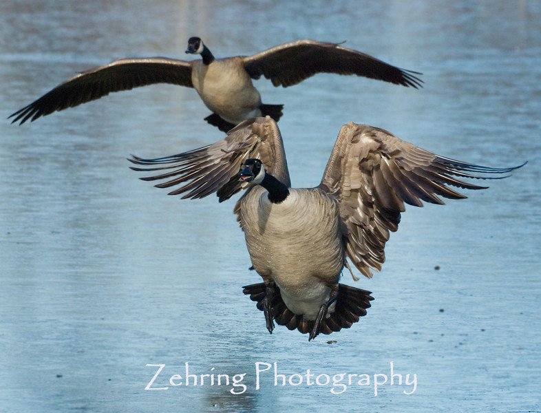 Canadian geese come in for a landing