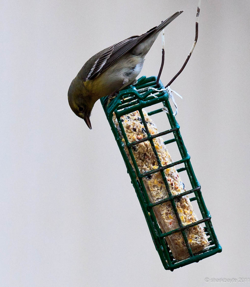 Just checking out the menu. He just took over this feeder. Not sure what type suet was added as this is my neighbor's feeder. Day 22:365 @sharkbayte