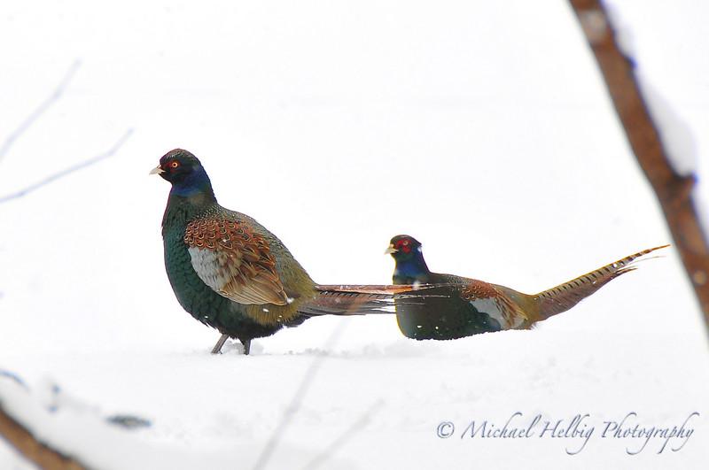 Japanese Pheasants