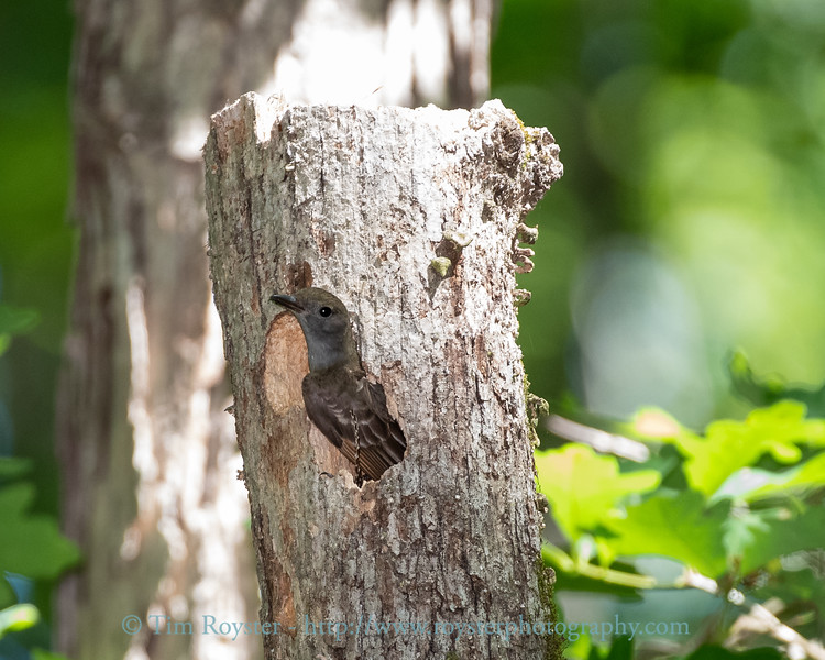 Great Crested Flycatcher exiting the nest