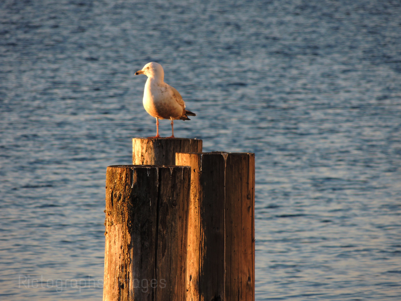 A Gull Taking A Break