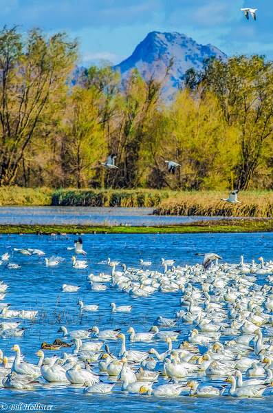 Snow Geese in lake with mountains behind at Sacramento Refuge #3