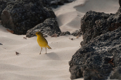 Little yellow bird amongst the rocks