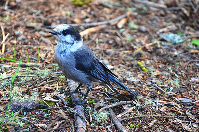 Canada Jay, Travelling Through; Checking Out The Scene.
