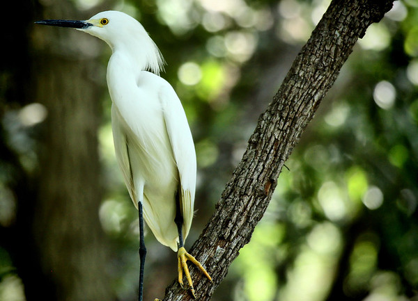 A snowy egret (Egretta thula) perching on a limb (2009_05_17_019767)