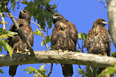 Siblings ~ Recently fledged Red-tailed Hawks (dark morphs)