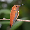 Male Rufous Hummingbird in Austin, Texas