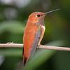 Male Rufous Hummingbird in Austin, Texas